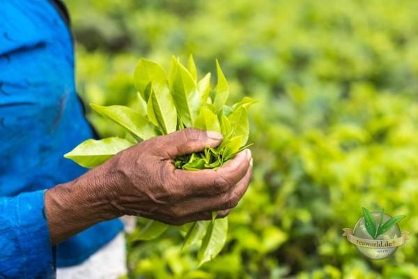 Bio Assam Satrupa Tee TGFOP1