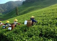 Nilgiri Frost Tea - Schwarzer Tee aus Südindien